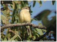 Lemon-bellied Flycatcher - Microeca flavigaster