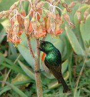 Greater Double-collared Sunbird - Cinnyris afer