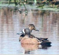 Blue-winged Teal (photo by Marie Gardner)