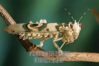 Flower mantid ( Pseudocreobotra wahlbergii ) stock photo