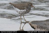Spotted Sandpiper - Ohio