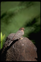 : Carpodacus mexicanus; House Finch