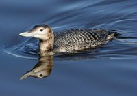 : Gavia adamsii; Yellow-billed Loon