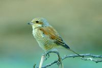 : Lanius collurio; Red-backed Shrike