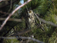 칡부엉이 Asio otus | long-eared owl