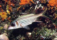 Neoniphon sammara, Sammara squirrelfish: fisheries, aquarium, bait