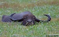 Image of: Bubalus bubalis (water buffalo)