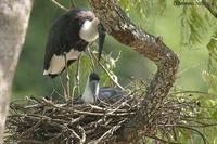 Image of: Ciconia episcopus (woolly-necked stork)