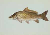 Image of: Cyprinus carpio (common carp)