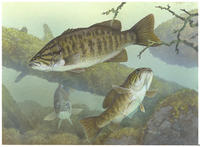 Image of: Micropterus dolomieu (smallmouth bass)