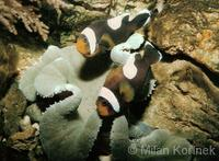Amphiprion polymnus - Black Saddleback Clownfish