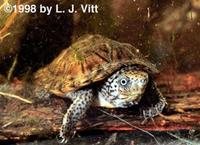 Image of: Sternotherus minor (loggerhead musk turtle)