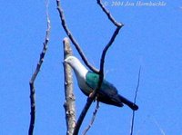Blue-tailed Imperial Pigeon - Ducula concinna