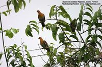 Cinnamon-headed Green Pigeon - Treron fulvicollis