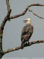 Changeable Hawk Eagle - Spizaetus cirrhatus