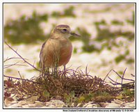 Red-breasted Dotterel - Charadrius obscurus