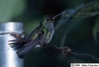 Blue-chested Hummingbird - Polyerata amabilis