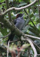 Slaty Brush-Finch - Atlapetes schistaceus
