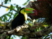 Keel-billed toucan photographed at Tikal, near Temple #4.