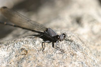 : Argia lugens; Sooty Dancer