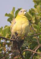 ...Yellow-footed Green Pigeon (Treron phoenicoptera) 2004. december 28. Bharatpur, Keoladeo Ghana N