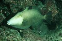 Sufflamen fraenatum, Masked triggerfish: fisheries, aquarium