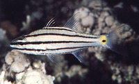 Cheilodipterus quinquelineatus, Five-lined cardinalfish: fisheries, aquarium