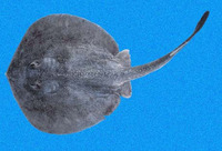 Urotrygon simulatrix, Fake round ray: