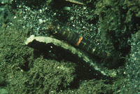Cryptocentrus leucostictus, Saddled prawn-goby: