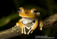 Convict Tree Frog - Hyla calcarata