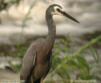 White-faced Heron - Egretta novaehollandiae