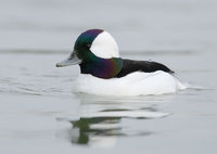 Bufflehead (Bucephala albeola) photo