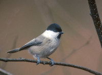 Willow Tit (Parus montanus) photo