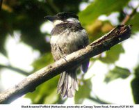 Black-breasted Puffbird - Notharchus pectoralis