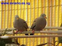 Peruvian Ground Dove Columbina cruziana