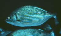 Kyphosus analogus, Blue-bronze sea chub: