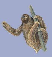 Image of: Bradypus torquatus (maned three-toed sloth)