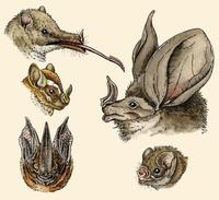 Image of: Phyllostomidae (New World leaf-nosed bats)