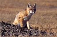 Image of: Vulpes velox (swift fox)