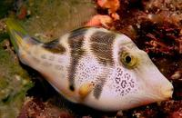 Image of: Paraluteres prionurus (hooked filefish)