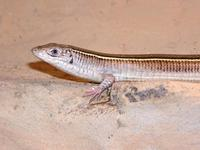Gerrhosaurus flavigularis - Yellow-throated Plated Lizard