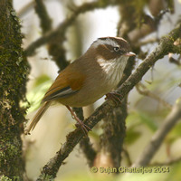White-browed Fulvetta - Alcippe vinipectus