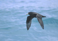White-chinned Petrel (Procellaria aequinoctialis) photo