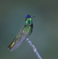 Magnificent Hummingbird (Eugenes fulgens) photo