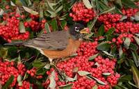 American Robin (Turdus migratorius) photo