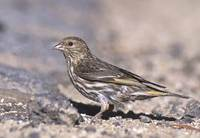 Pine Siskin (Carduelis pinus) photo