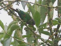 Maroon-tailed Parakeet (Pyrrhura melanura) photo