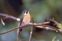 Purple-throated Mountain-gem - Lampornis calolaema