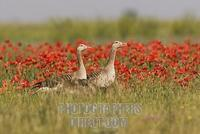 Greylag Goose ( Anser anser ) in poppy field stock photo
