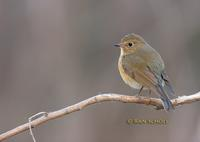 Red-flanked bluetail C20D 02732.jpg